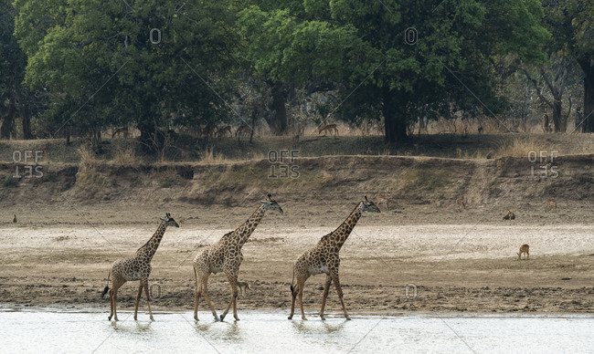 Thornicrofts Giraffes, giraffa camelopardalis thornicrofti, walking on the river bank.