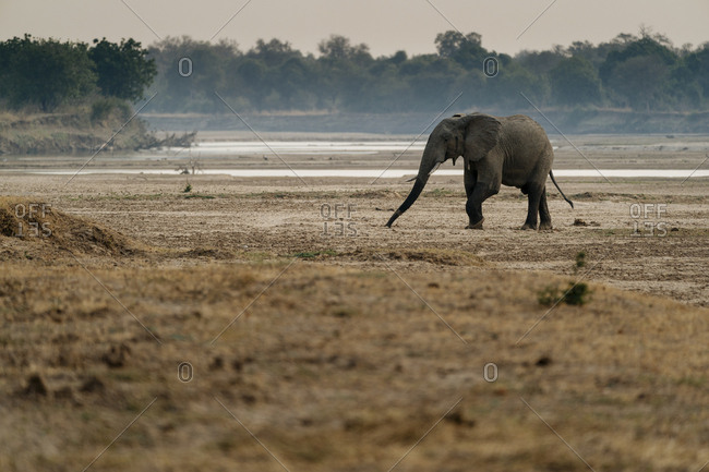 An African elephant, Loxodonta africana, grazing on the river bank.