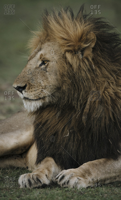 Close up portrait of a male lion, Panthera leo.