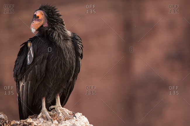 A condor that has been tagged by scientists from the Peregrine Fund sits on a rock at Badger Point in Marble Canyon.