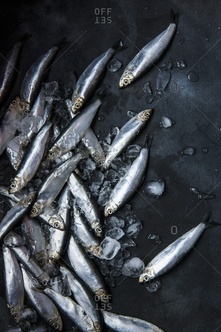 Fresh sprats on ice cubes