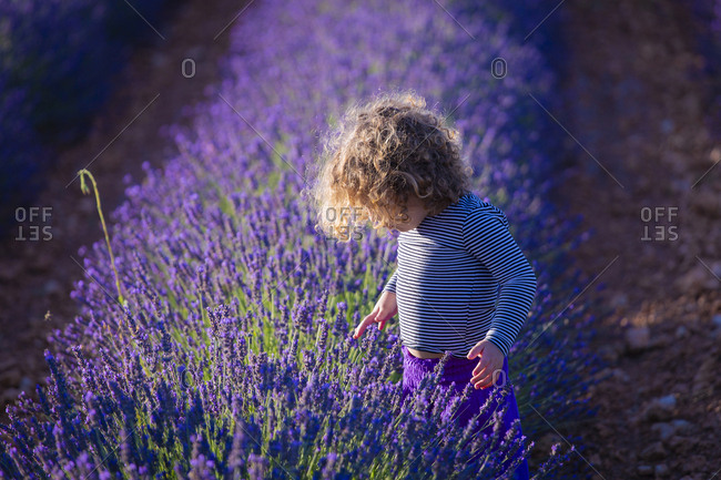 Small curly girl standing in bush of blooming lavender flowers in field exploring foliage in sunlight