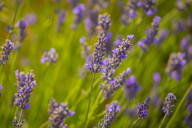 Close-up shot of tender small blooming flowers of lavender with green stems and foliage