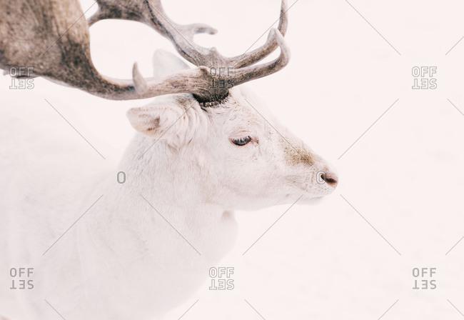 Close-up of a deer - Offset