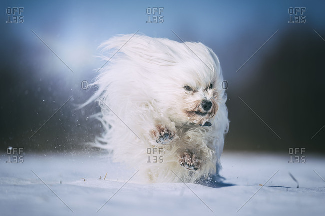 Havanese dog raging in the wind and snow