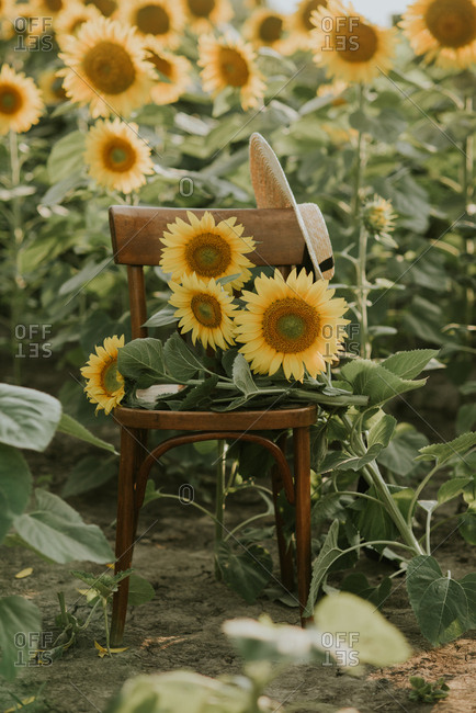Sunflower bouquet on a chair, in the sunflower field
