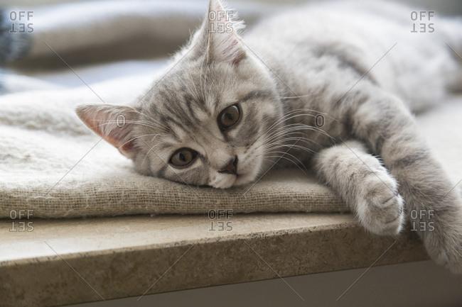 British shorthair kitten lying on window sill