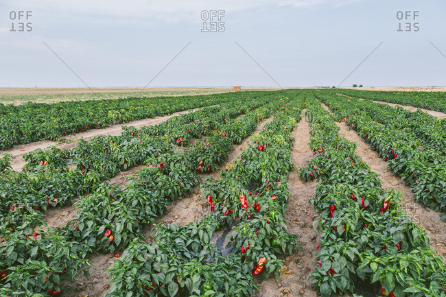 Serbia- field- red bell peppers