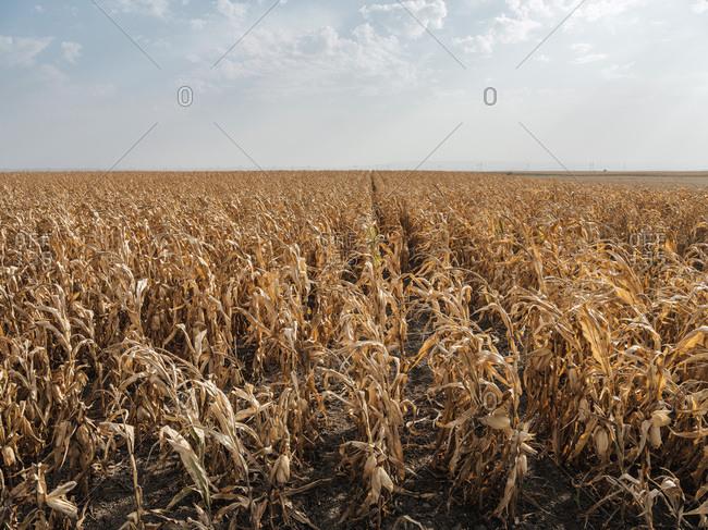 Serbia- Vojvodina- maizefield