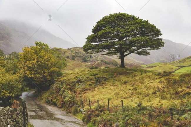 United Kingdom- England- Cumbria- Lake District-  lone tree in the countryside