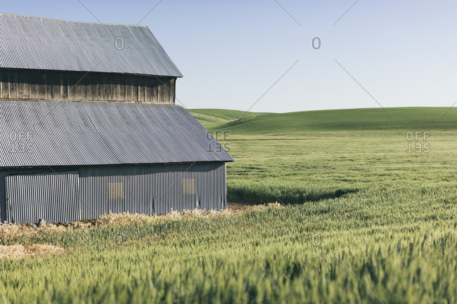 Barn and expansive field of Spring wheat