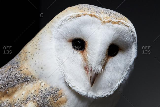 Portrait of a barn owl (Tyto alba) against black background