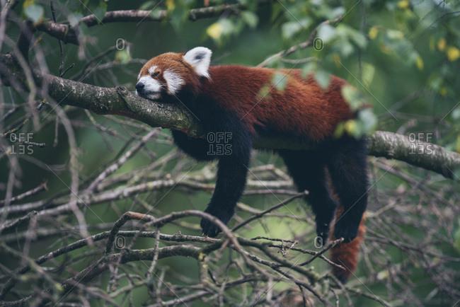 Red panda sleeping in tree