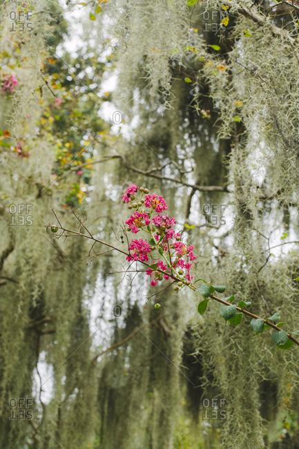 Spanish moss growing on flowering tree