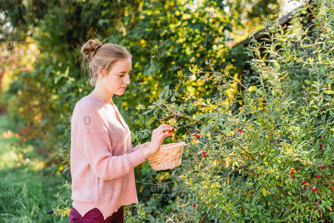 Garden, Young woman collecting rose hips,