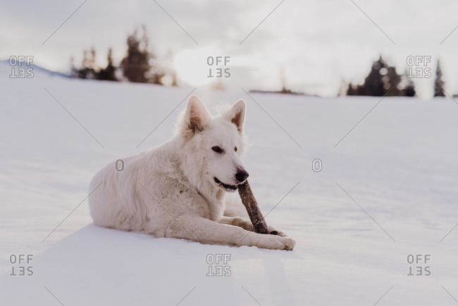 White shepherd dog lies in the snow, playing with wooden stick