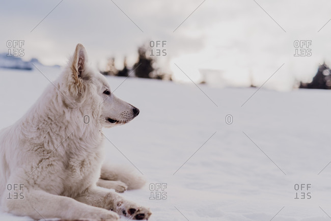 White sheepdog lies in the snow