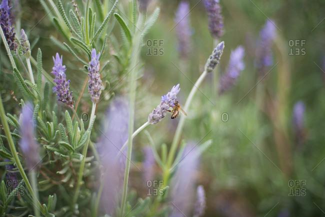 Bee lands on lavender flower in the garden