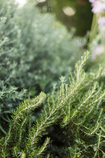 Close up of green pine branches