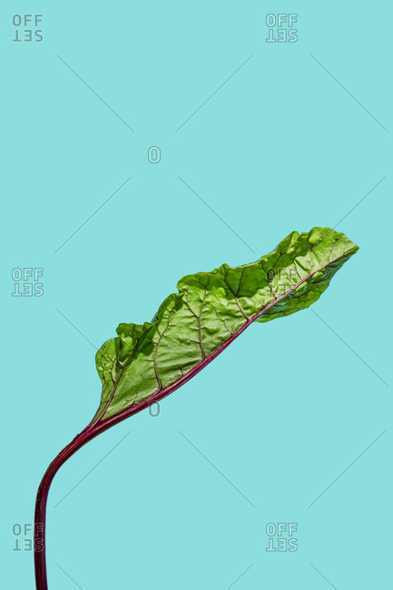 Swiss chard on teal background