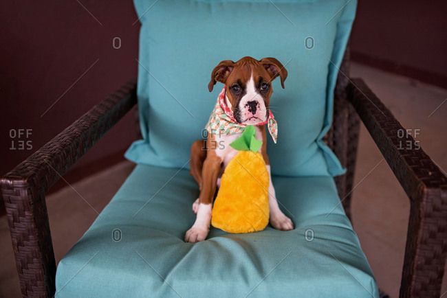 Boxer puppy sitting on chair with stuffed toy