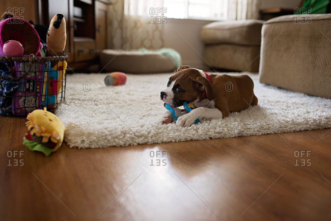 Boxer puppy lying on rug and chewing on toy