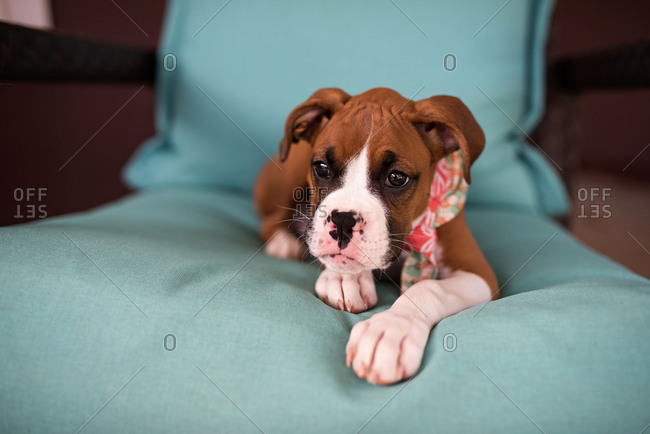 Portrait of Boxer puppy sitting on chair