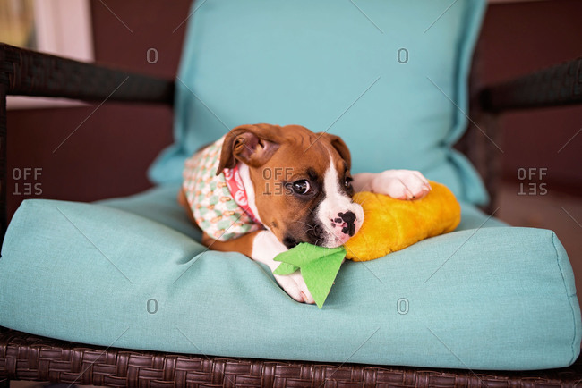 Boxer puppy lying on chair and chewing on stuffed toy