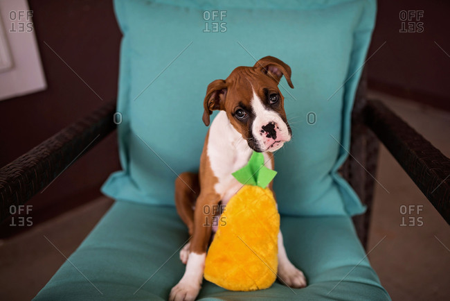 Portrait of Boxer puppy with head cocked sitting on chair with stuffed toy