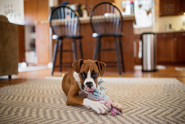 Boxer puppy lying on floor and chewing on toy