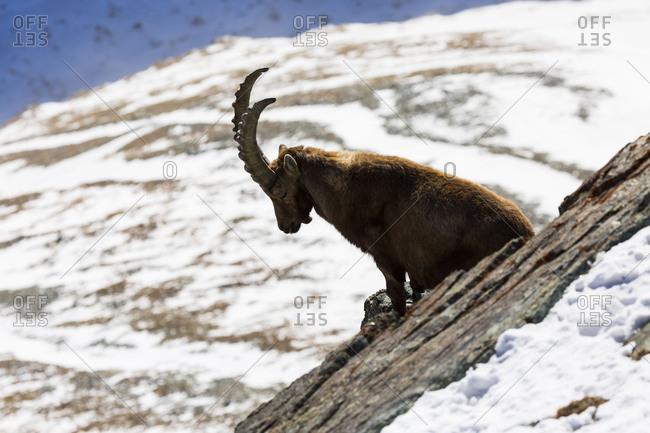 Europe, Switzerland, Valais, Zermatt, View from Gornergrat, Alpensteinbock, Alpine ibex