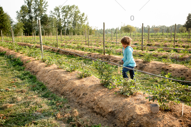 Young boy picking berries on a farm