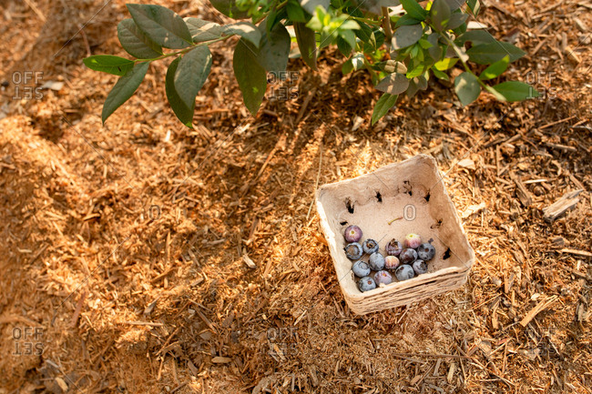 Fresh picked blueberries in a container on a farm