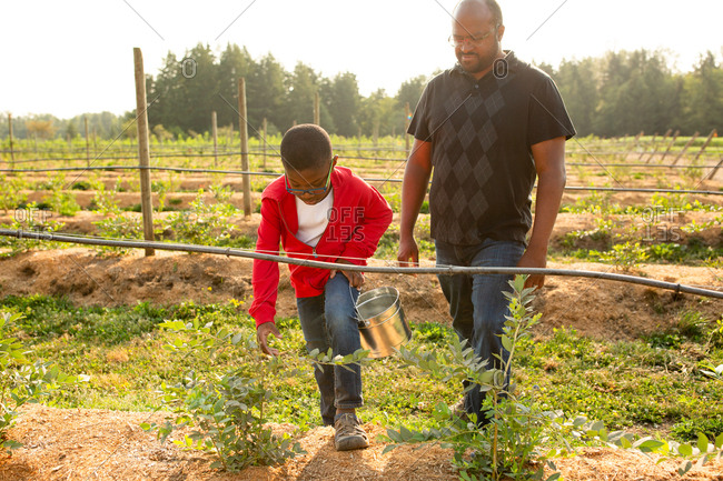 Father and son picking blueberries on a U-pick farm