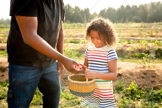 Dad and little girl picking blueberries on a U-pick farm