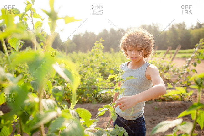 Young boy picking raspberries on a farm