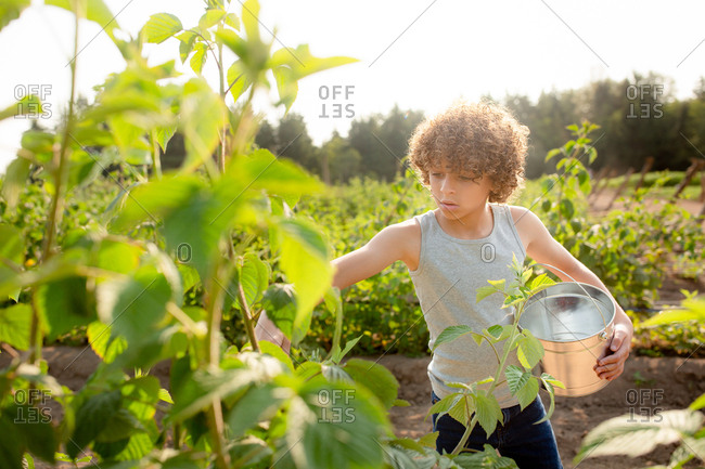 Little boy picking fresh raspberries on a farm