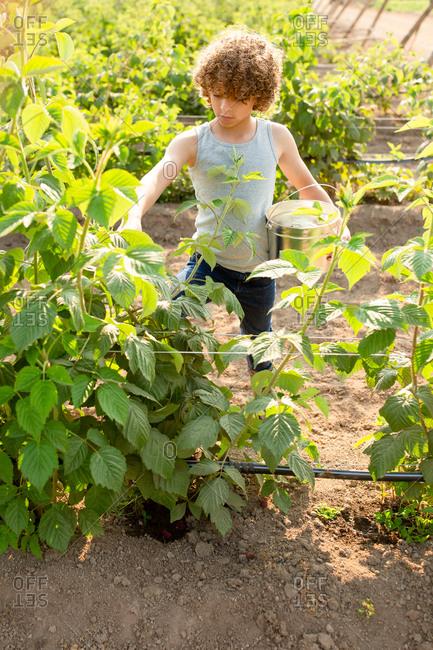 Boy picking fresh raspberries on a farm