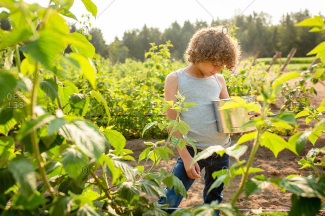 Little boy picking raspberries on a farm