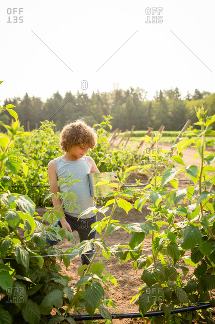 Boy picking raspberries on a farm on a sunny day