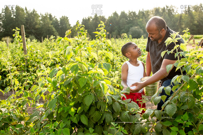 Boy and his dad picking raspberries on a farm