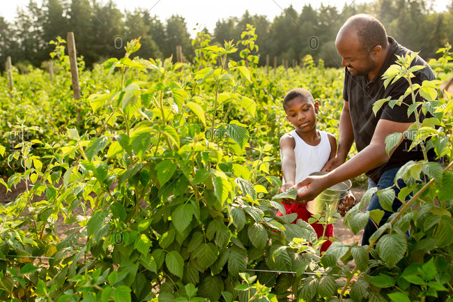 Little boy and his dad picking fresh raspberries on a farm