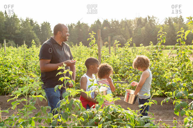 Father and kids picking raspberries on a U-pick farm