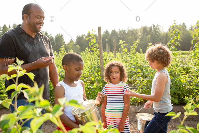 Father and children picking raspberries on a U-pick farm
