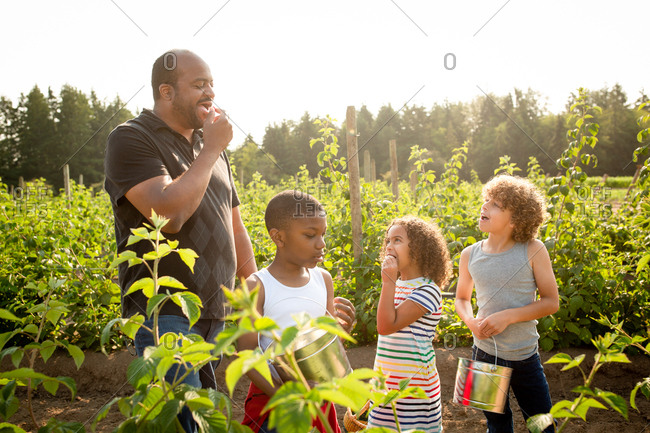 Dad and children tasting raspberries while picking them on a U-pick farm