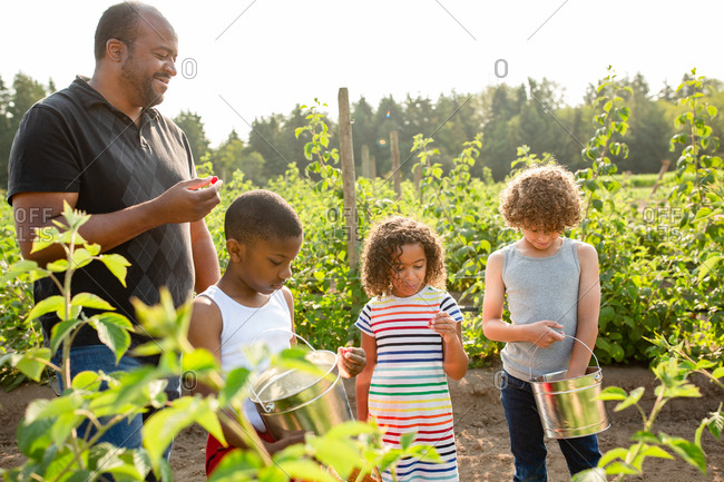 Dad and children picking raspberries on a U-pick farm