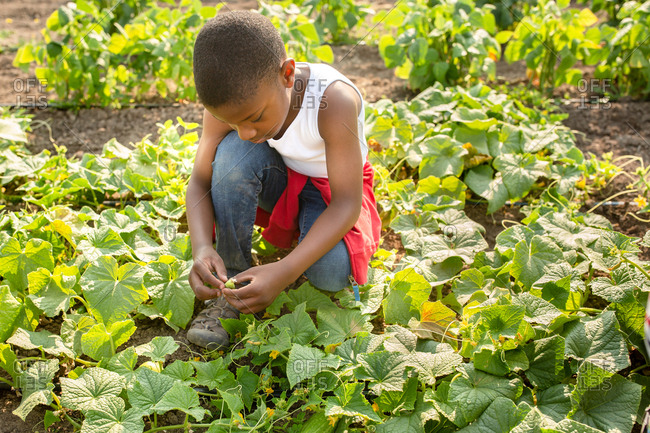 Boy checking out cucumber plants on a farm