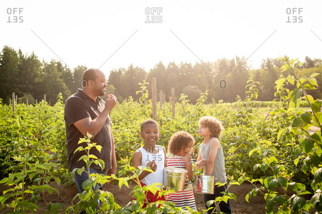 Father and children tasting raspberries while picking them on a U-pick farm