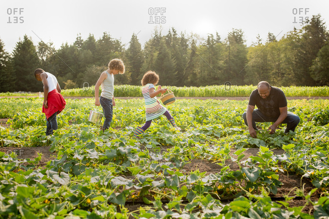 Dad and kids picking cucumbers on a U-pick farm