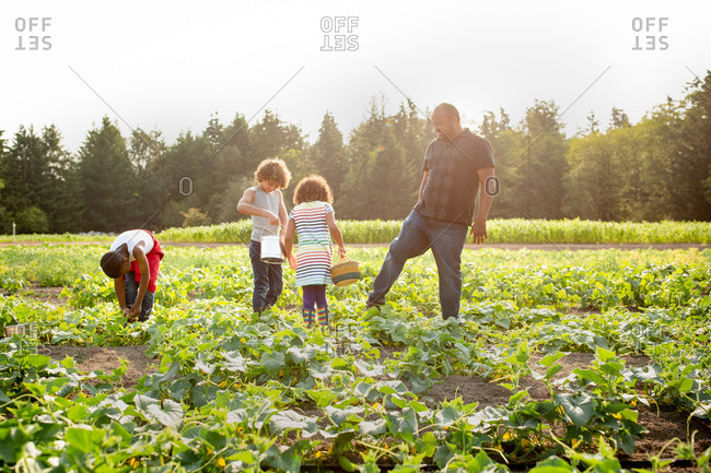 Father and kids picking cucumbers on a U-pick farm